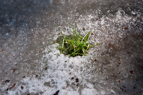 tuft of green grass peaking through ice
