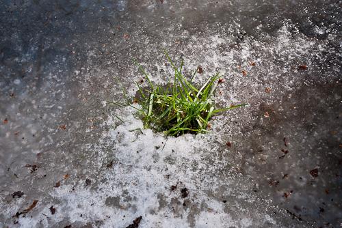 tuft of green grass peaking through ice