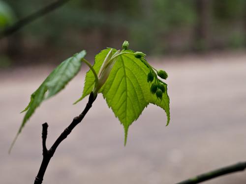budding leaves & tree fruits