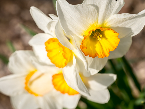 yellow and white daffodils closeup