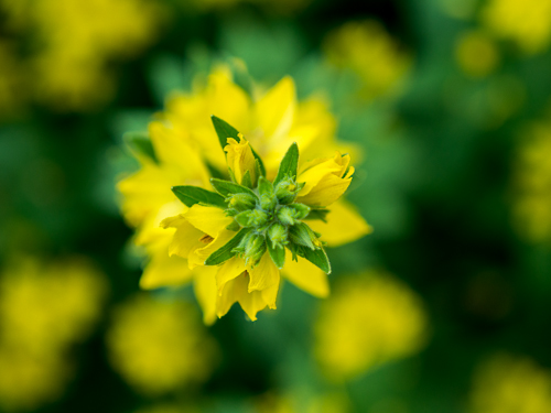 yellow weed flower with green and yellow bokeh