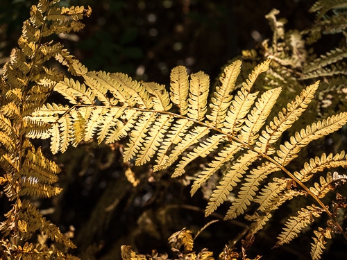 yellow-brown dried fern in shaft of light