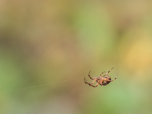 closeup of spider on horizontal silk, soft green bokeh