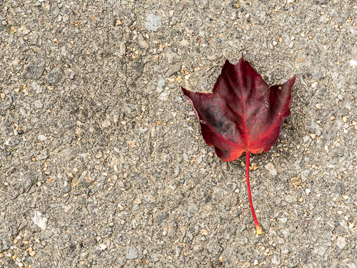 single dark red leaf on asphalt