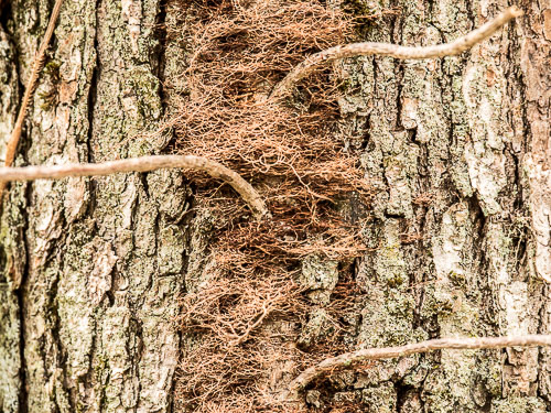 closeup of poison ivy roots on tree bark