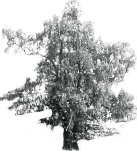 2009-Winter--Mclouglin-Tree