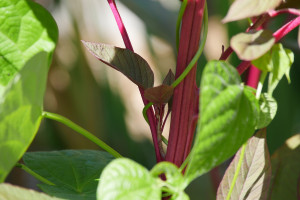 beanpolearoundamaranth